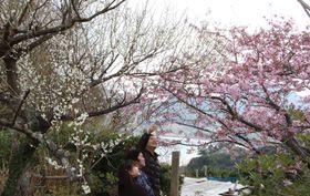 鮮やかに咲き誇る梅の花(左)と河津桜=平戸市根獅子町