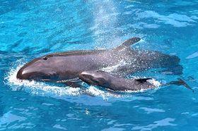 母親と一緒に泳ぐオキゴンドウの赤ちゃん(手前)=16日撮影、アドベンチャーワールド提供