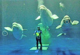 親子3頭によるバブルリングを練習するシロイルカ=浜田、江津両市、水族館アクアス