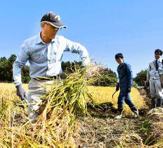 大川原地区の実証栽培田で、稲刈りに励む参加者