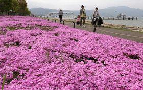 湖岸を彩るシバザクラ。昨年の猛暑などで半減したが、手入れされた区画では花が咲きそろう(大津市におの浜4丁目)