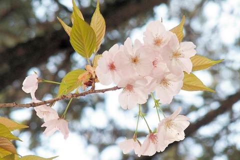 境内で見つかった品種名が不明の桜(2019年4月11日撮影)=琴平町、金刀比羅宮