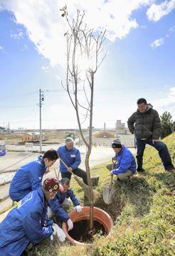 神戸のボランティアグループと地域住民が新たに植えた大島桜=11日午後、宮城県名取市