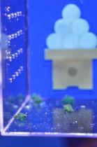 月見団子が描かれた水槽で展示されるダンゴウオ=静岡市清水区の東海大海洋科学博物館