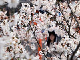雨の中、しっとりと咲くモモザクラ(17日午後3時49分、京都市北区・平野神社)