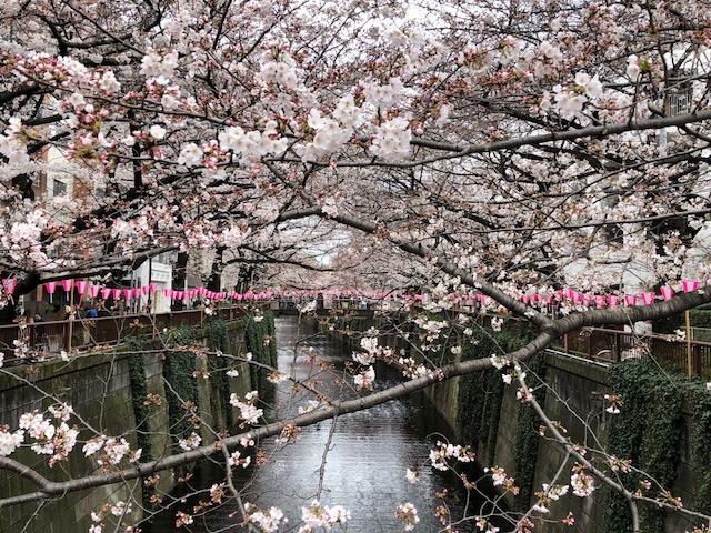 見頃を迎える目黒川の桜