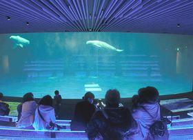 新しくなったプールで遊泳するシロイルカ=浜田、江津両市、水族館アクアス