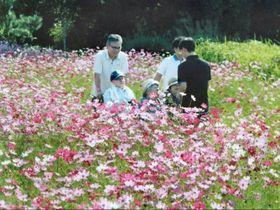 コスモスの花畑を散策する高齢者ら=曽於市末吉