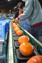 晩秋の味覚の代表格として出荷が始まっている色鮮やかな富有柿=綾川町千疋