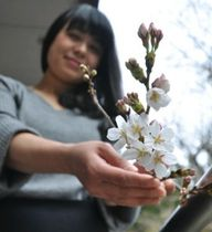 開花が始まった水上村役場のソメイヨシノ