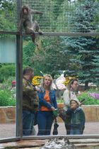 日本平動物園から寄贈されたニホンザル。新しい獣舎で動き回り、来園者の注目を集める=9日、サンクトペテルブルクのレニングラード動物園(静岡新聞社特派員・岡田拓也)