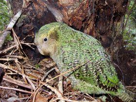 ニュージーランド固有種のオウム「カカポ」(アンドリュー・ディグビー氏提供、共同)