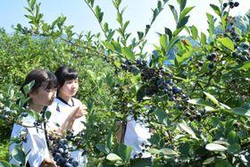 ブルーベリーの収穫を楽しむ脇町中生=美馬市脇町北庄