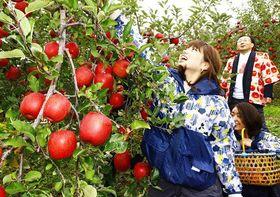 真っ赤に色づいた「ふじ」の収穫を楽しむ参加者=12日、平川市