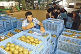 黒星病予防で呉羽梨農家成果 「幸水」豊作 出荷7年ぶり1300トン超