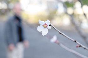 開花した「ブコウマメザクラ」=20日午後、横瀬町横瀬の町歴史民俗資料館