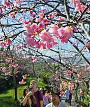 行楽客でにぎわうヒカンザクラの並木道=25日午後、名護市・名護城公園(田嶋正雄撮影)
