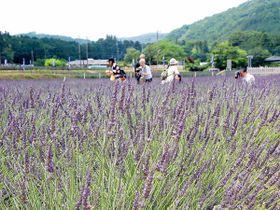 16日からプレオープンするラベンダー園「千年の苑」=嵐山町鎌形