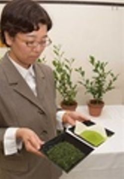 茶の新品種「せいめい」育成 抹茶や粉末茶向け 農研機構