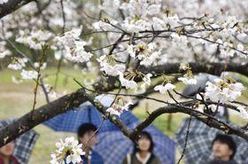 全国で最も早く満開になった高知城のソメイヨシノ=19日午後、高知市