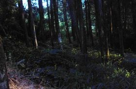 星のように瞬きながら杉林の中を舞うヒメボタル=曽於市大隅町月野