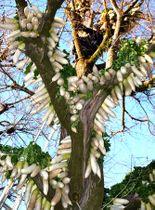 修行僧の手でイチョウの大木につるされたダイコン(京都府八幡市八幡・円福寺)