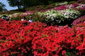約6千株が見ごろを迎えたツツジ園=二宮町の吾妻山公園