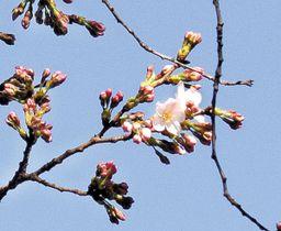 開花が宣言された大宮公園の桜=21日午後、さいたま市大宮区の大宮公園