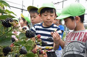 ブラックベリーを収穫する子どもたち