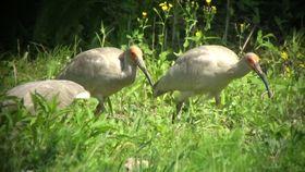 草地で餌をとるトキの幼鳥3羽=5日、新潟県佐渡市(環境省提供)