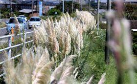 白い穂が風に揺れるパンパスグラス=22日午前、高鍋町南高鍋