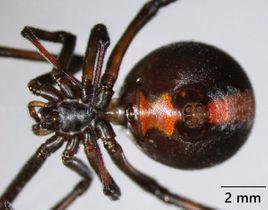 過去に県内で確認されたセアカゴケグモの写真(県衛生研究所提供)