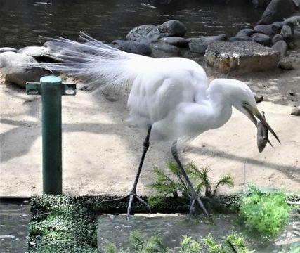 (567)水流で動くえさを食べる チュウサギ