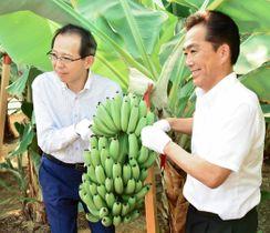 たわわに実ったバナナの房にはさみを入れて収穫する内堀知事(左)と遠藤町長