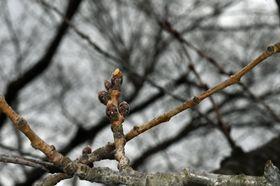 4月19日開花と予想されている弘前公園北の郭のソメイヨシノの花芽=18日午後