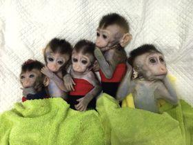 中国科学院神経科学研究所が公開したクローンのサル5匹の写真=2018年11月(新華社=共同)