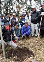桜の幼木を植樹する参加者=伊佐市の大口城跡