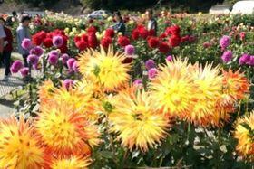園内に花を咲かせる色とりどりのダリア=川西市黒川