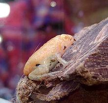 延近さんが見つけたオタマジャクシが成長したカエル