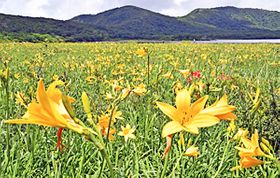 【ニッコウキスゲ】〔ふくしま花だより〕雄国沼湿原 山吹色のじゅうたん