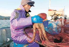 籠に入ったマダコを取り出す漁師