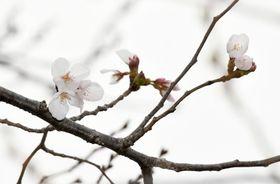 開花が発表された鹿児島地方気象台のソメイヨシノ=鹿児島市東郡元町