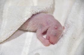 ジャイアントパンダ「良浜」が14日に産んだ雌の赤ちゃん(アドベンチャーワールド提供)