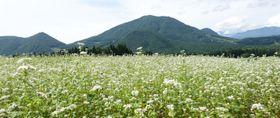 高社山(奥)を背景に白い花を咲かせる八丁原のソバ畑