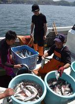 土々呂港に水揚げしたサクラマスの仕分け作業を見守る上野さん(中央)