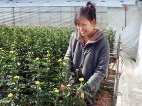 ベトナムから技能実習に来ているフォンさん。園芸農家で菊の栽培や出荷作業をしている=1月14日、愛知県の園芸農家