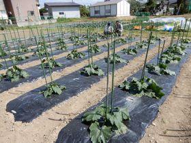 イタリア野菜が栽培される畑。新たな作物にも挑む=2019年5月、山形県河北町