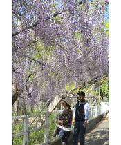 境内を薄紫色に彩る岩田神社の孔雀藤=高松市飯田町