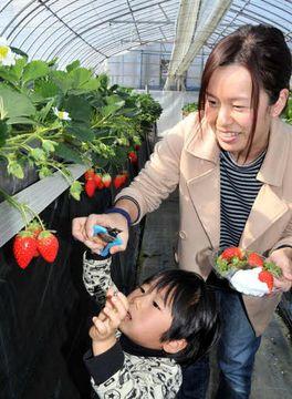 赤く色づいたイチゴを摘み取る来場者