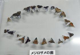 松江市のシコノ谷遺跡から出土した縄文時代のサメの歯=14日午後